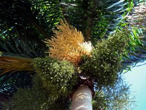 Palma-Real_frutos