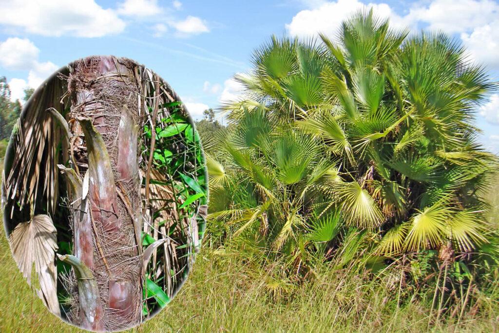 Acoelorraphe wrightii en la localidad de Muelas Quietas y detalle del tallo, foto tomada por Duanny Suárez, 2008.Acoelorraphe wrightii en la localidad de Muelas Quietas y detalle del tallo, foto tomada por Duanny Suárez, 2008.