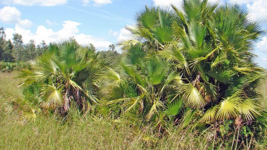Acoelorraphe wrightii en la localidad de Muelas Quietas y detalle del tallo, foto tomada por Duanny Suárez, 2008.