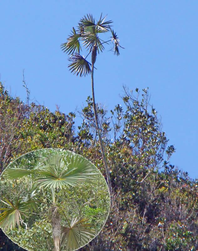 Coccothrinax trinitensis en la localidad de Pico San Juan y detalle de la forma de copa, foto tomada por Duanny Suárez, 2010.