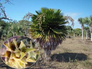Copernicia macroglossa en la localidad de la Finca La Pimienta y detalle de sus flores, foto tomada por Duanny Suárez, 2010.