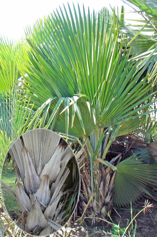 Copernicia x sueroana en la localidad de Sin Nombre y detalle de su robusto peciolo, diferencia notable con C. rigida, ausente en esta especie, foto tomada por Duanny Suárez, 2007.
