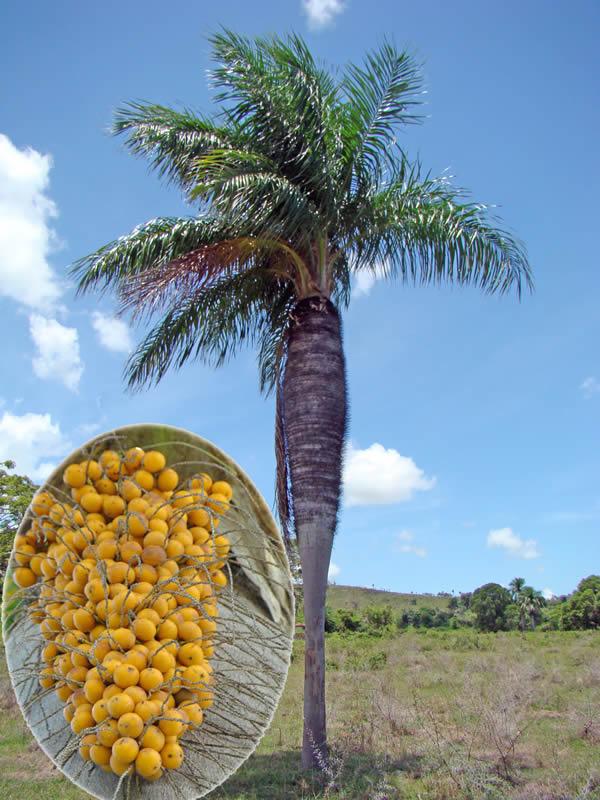 Acrocomia crispa en la localidad de Los Hoyos y detalle de la infrutescencia. Foto tomada por Duanny Suárez, 2002.