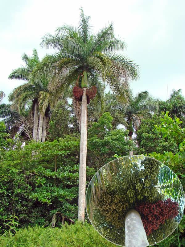 Roystonea regia en la localidad de Puerto Arturo y detalle de los diferentes estadíos de sus infrutescencias, foto tomada por Duanny Suárez, 2000.