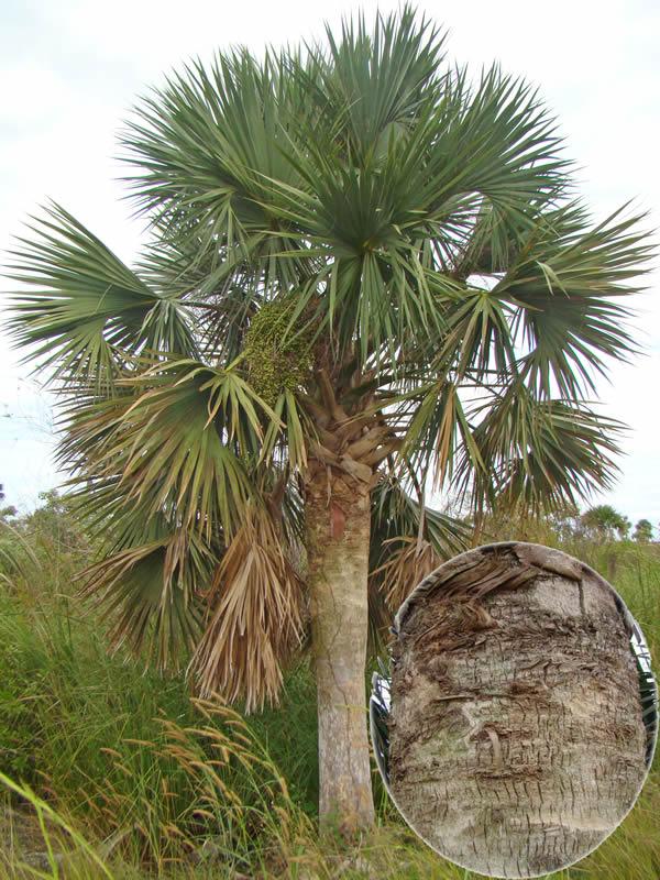 Sabal palmetto en la localidad de El Diamante y detalle de la coloración oscura y agrietamiento del tallo, diferencias estas con S. maritima, foto tomada por Duanny Suárez, 2010.