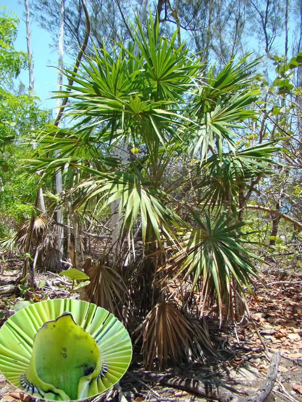 Thrinax radiata en la localidad de Punta de Mangles Altos y detalle del hástula puntiagudo, diferencia con el género Coccothrinax, quien lo posee ensanchado, foto tomada por Duanny Suárez, 2003.