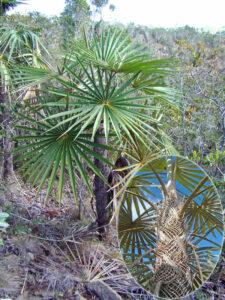 Coccothrinax clarensis en la localidad del Diamante y detalle de las fibras en el tallo, foto tomada por Duanny Suárez, 2001.