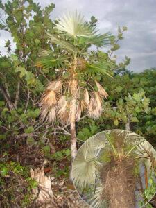 Coccothrinax cupularis en la localidad de Río Hondo y detalle de las infrutescencias, foto tomada por Duanny Suárez, 2010.