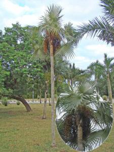 Coccothrinax litoralis usada como ornamental en la provincia y detalle de las infrutescencias, foto tomada por Duanny Suárez, 2003.