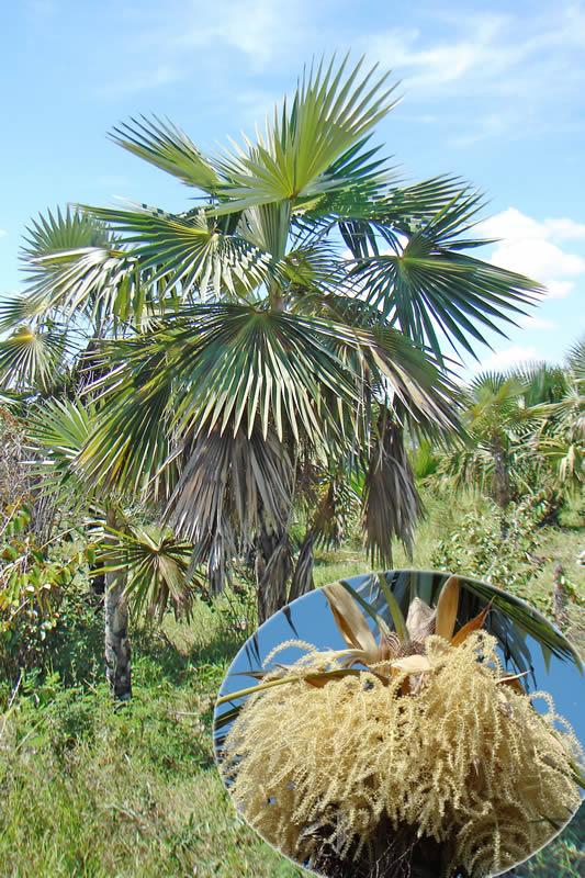 Coccothrinax miraguama subsp. miraguama en la localidad de Muelas Quietas y detalle de las inflorescencias, foto tomada por Duanny Suárez, 2007.