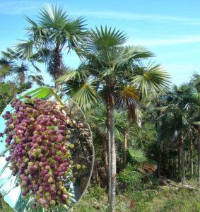 Coccothrinax miraguama subsp. roseocarpa en la localidad de La Vega y detalle del color púrpura de los frutos, foto tomada por Duanny Suárez, 2009.
