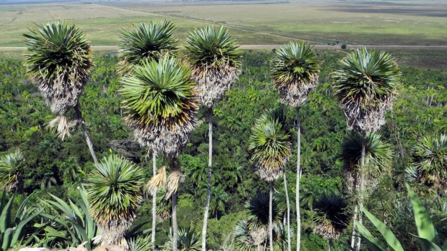 La palmita de Jumagua una joya del Patrimonio Floristico Mundial