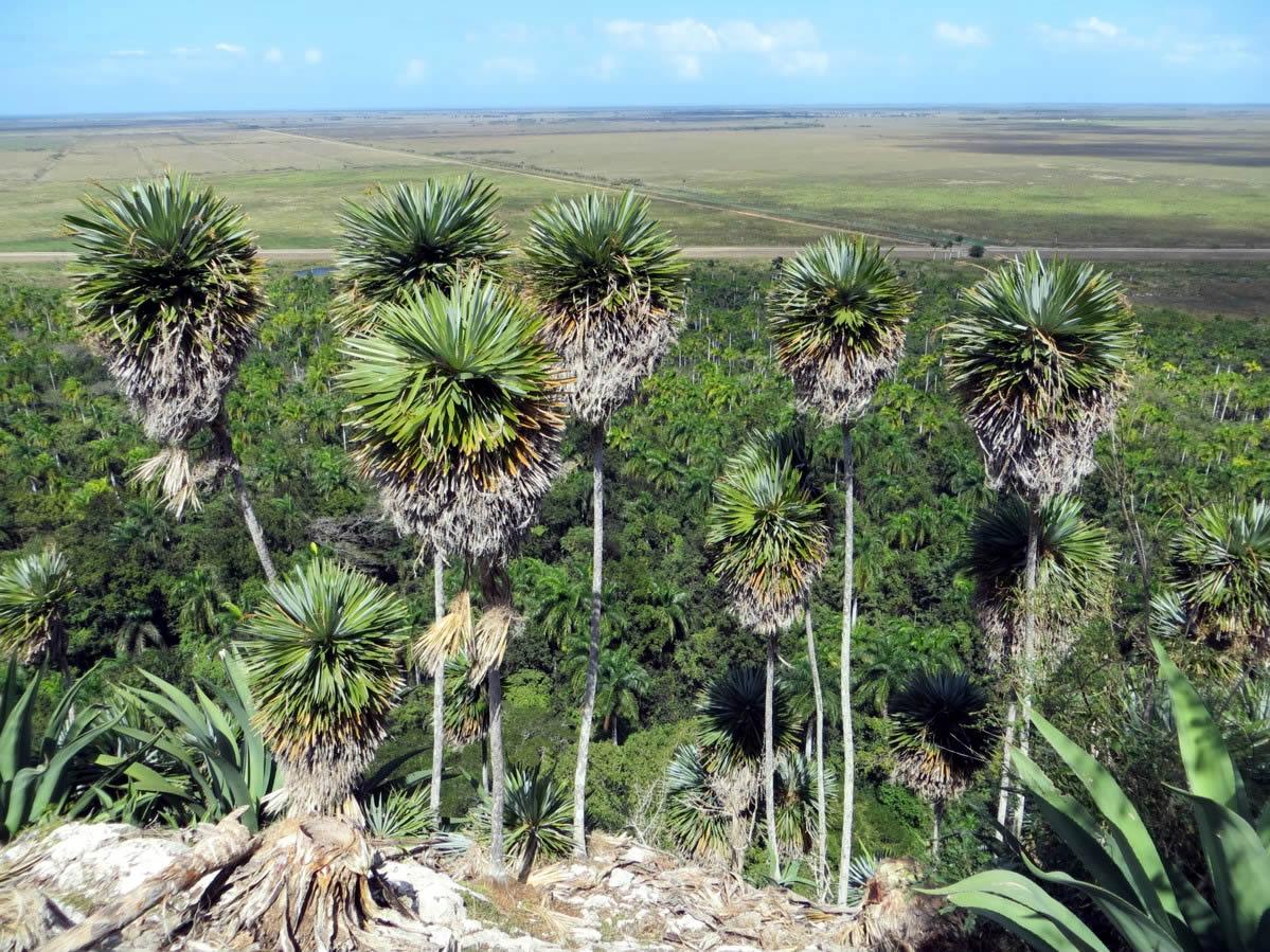 La palmita de Jumagua, una joya del Patrimonio Florístico Mundial