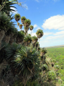 Palmita de Jumagua