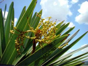 Palmita de Jumagua, detalle del fruto